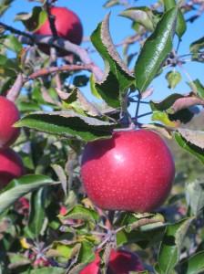 close-up-apple